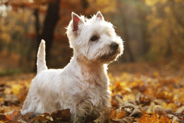 West Highland White Terrier Dog Groomers