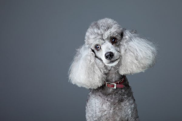 Curious gray poodle dog grooming