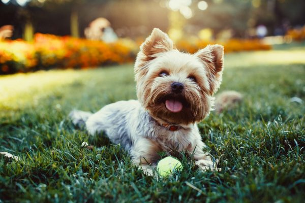 Beautiful yorkshire terrier dog groomers